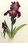 Iris Sheer Ecstasy