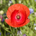 Click for more details of Papaver Rhoeas 'Shirley Series' (photograph) by Margaret Elliot