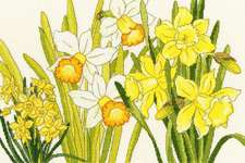 Click for more details of Daffodil Blooms (cross stitch) by Bothy Threads
