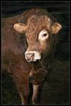 Click for more details of Limousin Bull 'Decoy' (photograph) by Margaret Elliot