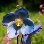Click for more details of Meconopsis grandis (photograph) by Margaret Elliot