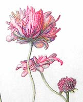 Click for more details of Pink Mist (pencil) by Julie Peden