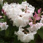 Click for more details of Rhododendron ' argyrophylium (photograph) by Margaret Elliot