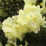 Click for more details of Rhododendron 'Crest' (photograph) by Margaret Elliot