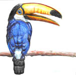 Click for more details of Toucan (watercolour pencil) by Julie Peden